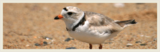 Piping plovers on verge of extinction